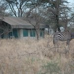 Zebra visiting the Serengeti Wildcamp