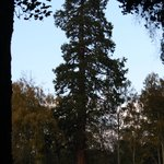 giant sequoia tree in the garden