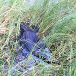 Gator in the Everglades