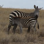 Common and Grevy Zebras at Lewa