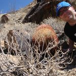 Upclose with a Ferocactus at Joshua Tree National Park