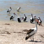 Pelican await their lunch from fishermen