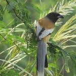 Rufous Treepie in hotel grounds