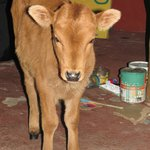 Orphaned pet calf