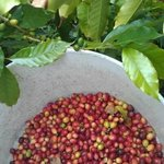 We're a real (small) Kona Coffee farm!