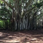 "The Banyan tree used in the tv show ""Lost""  One of the many sightseeing excursions available."
