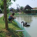Resort lake and the pagoda in the lake & Black swans
