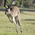 Kangaroo jumping around next to the Tennis court