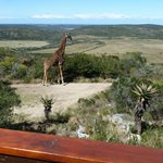 view from our lodge -nyes, that is a real giraffe!