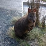 one of the wallabies