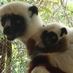 mother and baby coquerel sifaka on our veranda