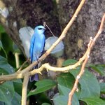 Verditer flycatcher (just behind the homestay)