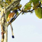 Rufous Treepie (just behind the homestay)
