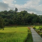 Walkway through the rice paddies