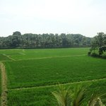 Paddy fields..