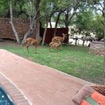 nyala family living on grounds of Shumbalala