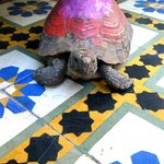 friendly riad tortoise!
