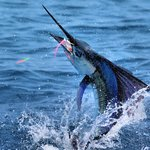 Catch a Sailfish on the fly!