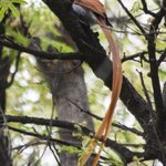 paradise flycatcher at Sefapane Lodge
