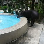 Cynthia- the Tapir hangs around