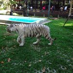 one of the 3 white tigers in tiger kingdom
