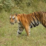 Tiger in Kisli zone