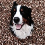One of the owners beautiful Bernese Mountain dogs