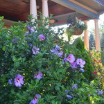 Rose of Sharon at Union Gables