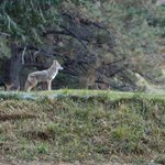 Coyote spotted on the golf course