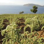 Votania - Pure Herbs of Crete
