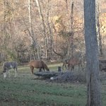 The horses grazing