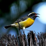 The Bananaquit is everywhere.