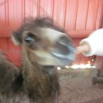 Zoo worker feeding baby camel in the petting area