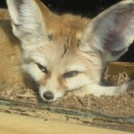 Love those ears! Fennec Fox, native to North Africa