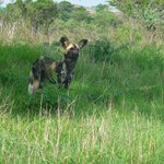 Also called African Wild dog