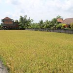 Rice fields in front of hotel