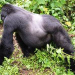 The rare silverback gorilla