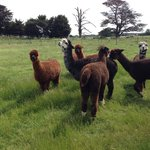 Say hello to the lamas !!