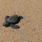 Baby sea turtle on the beach