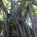 Banyan on the grounds