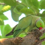 Roe ringed parakeet in the gardens of the Chambal Safari Lodge
