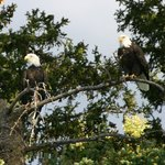 Pair of bald eagles along Snake River