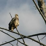Immature bald eagle along Snake River