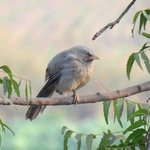 Contented Jungle Babbler at Kadumb Kunj