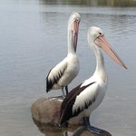 These pelicans put on a great show with a local fisherman!