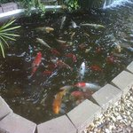 Feeding time in coi pond