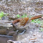 Striated laughingthrush at Jungle Lore Lodge