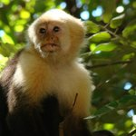 Capuchin monkey by the beach