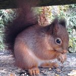 red squirral - taken with a tablet camera