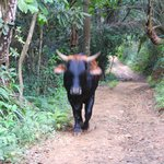 El Toro del Diablo, as it begins to accelerate towards us on the trail
